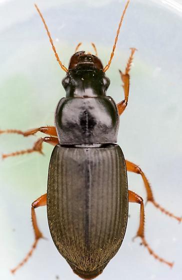 Harpalus rufipes - female
