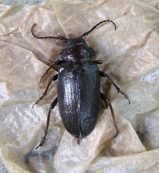 Coleoptera, Carabidae? - Prionus laticollis