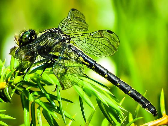 Mustached Clubtail - Hylogomphus adelphus