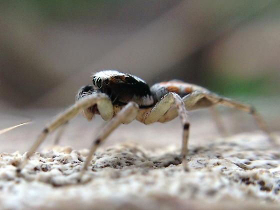Maevia sp - Paramaevia poultoni - male