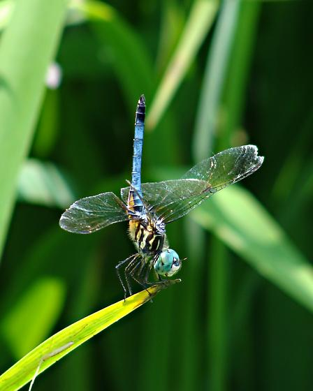 Blue Dasher - Pachydiplax Longipennis - Pachydiplax longipennis - male