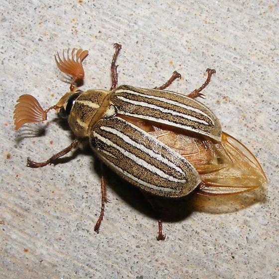 Ten Lined June Bug - Polyphylla decemlineata - BugGuide Net
