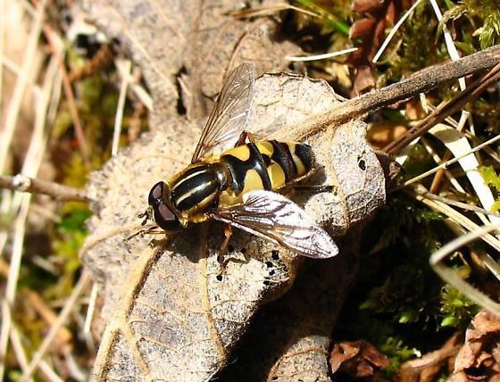 Helophilus sp. - Helophilus fasciatus - male