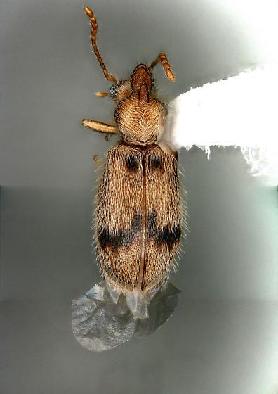 Unknown beetle - Notoxus desertus