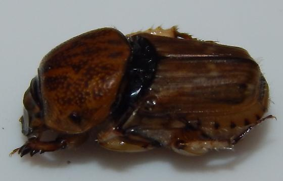 Scarab beetle - Euoniticellus intermedius