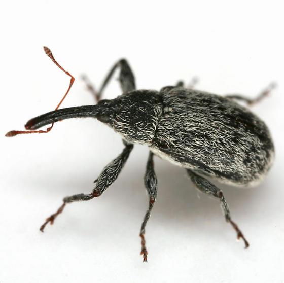 Anthonomus texanus Dietz - Anthonomus texanus