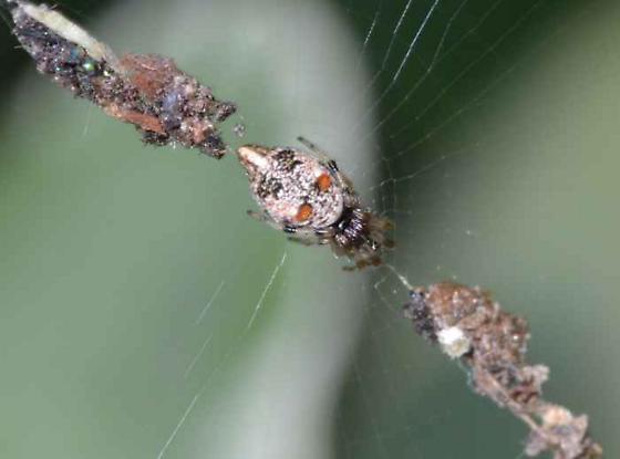 Spider - Cyclosa turbinata