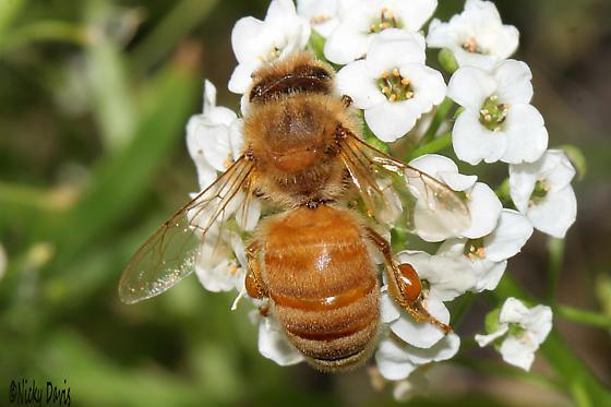 Bee with pollen basket, 21 October 2016 - Apis mellifera