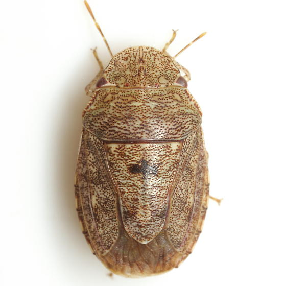 Lineostethus clypeatus (Stal) - Lineostethus clypealis
