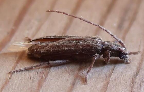 Cerambycidae: Anelaphus pumilus? - Anelaphus parallelus