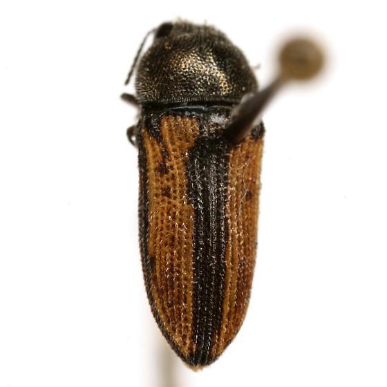 Acmaeodera riograndei Nelson - Acmaeodera riograndei