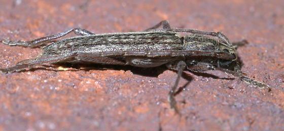 Hairy longhorned beetle - Anelaphus parallelus