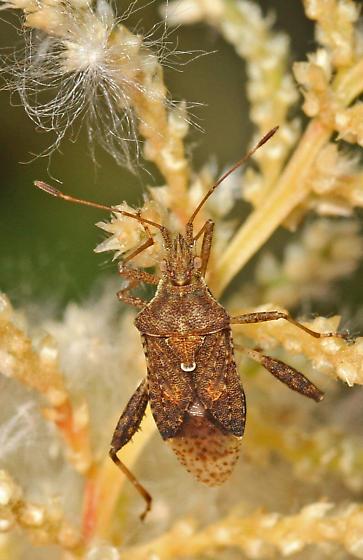 Plant Bug - Harmostes? - Harmostes serratus