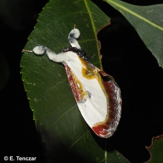 Nice moth - Eudryas grata