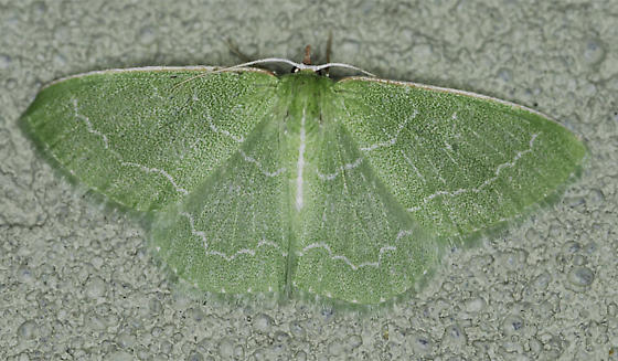 Wavy-lined Emerald? - Synchlora aerata