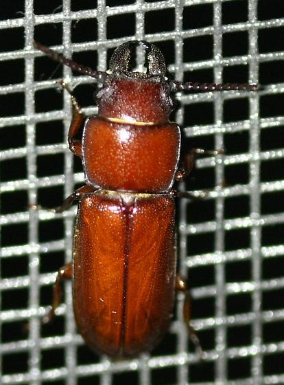 Beetle with large mandibles - Neandra brunnea