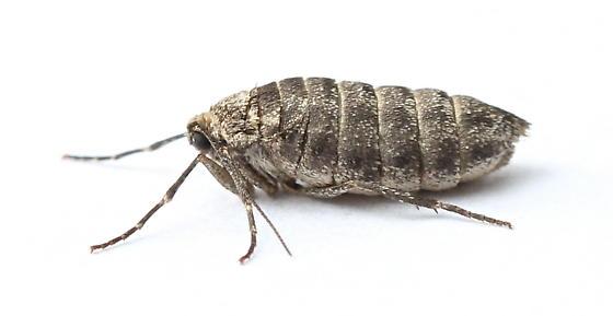 Operophtera bruceata - female