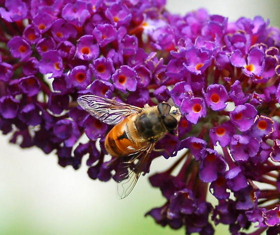 bee mimic fly - Eristalis tenax