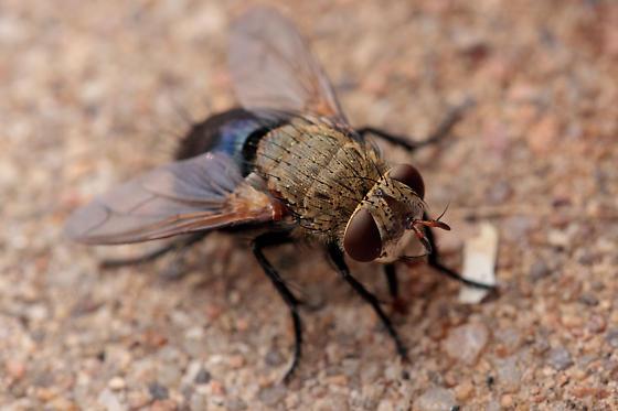 Tachynid (tan thorax, iridescent blue abdomen) - Archytas