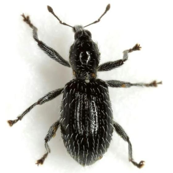 Myrmex laevicollis (Horn) - Myrmex laevicollis