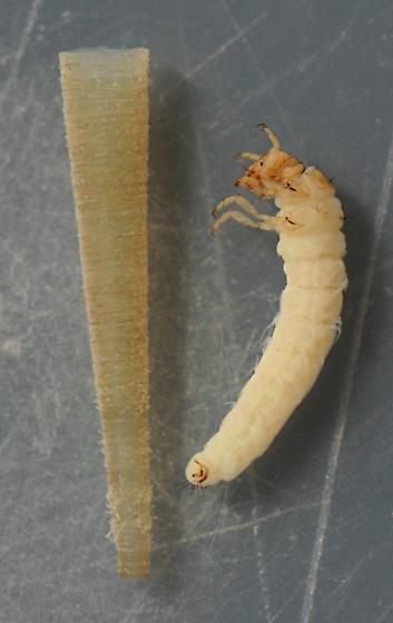 Amiocentrus aspilus - voucher specimen, in alcohol - Amiocentrus aspilus