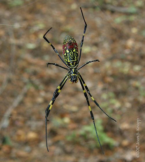 Nephila clavata (Joro spider) - Trichonephila clavata - female