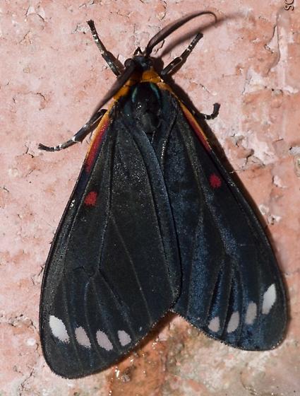 unknown moth - Phaloesia saucia