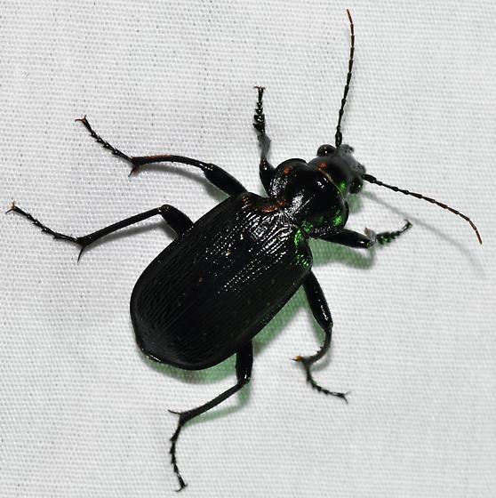 Beetle - Calosoma sayi