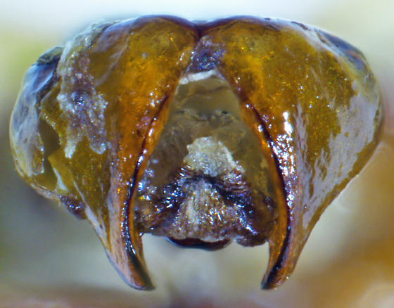 Phyllophaga glaberrima (Blanchard) - Phyllophaga glaberrima - male