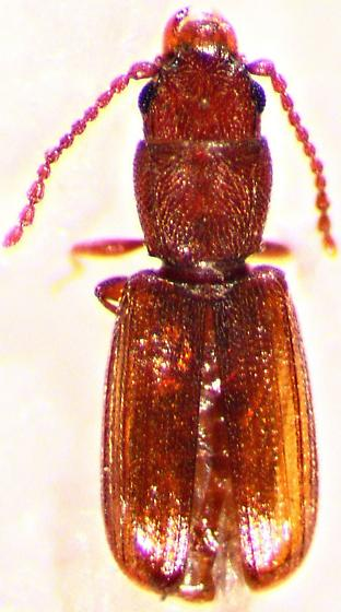 Coleoptera - Cryptolestes cornutus