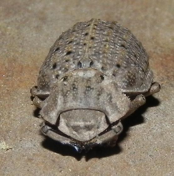 TX Hide Beetle species? - Omorgus suberosus