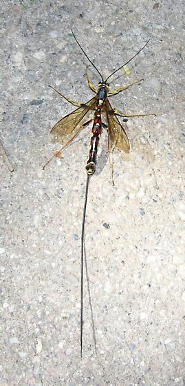 Giant Ichneumond - Megarhyssa nortoni - female