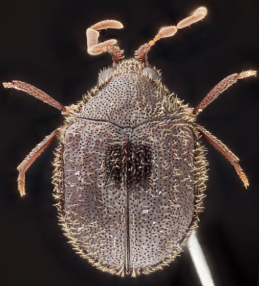 Beetle, dorsal - Caenocara