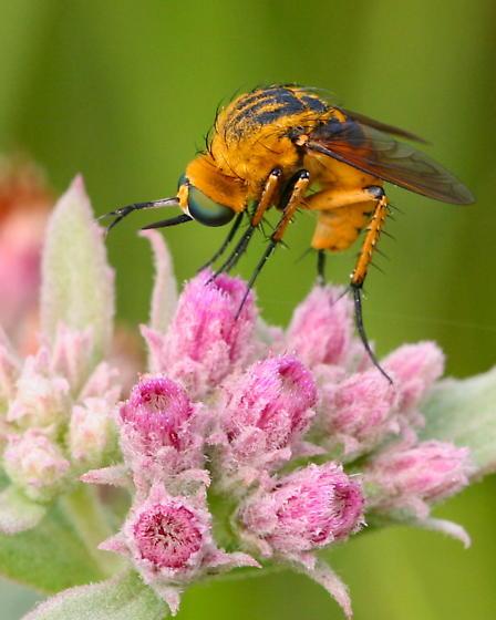 Bombyliidae - Toxophora leucopyga