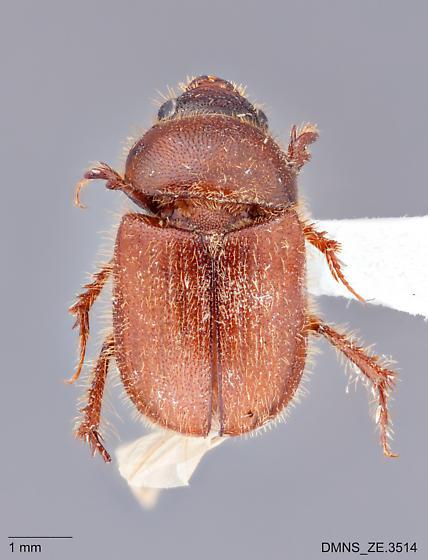 Parochodaeus_duplex_ZE.3514_dorsal - Parochodaeus duplex