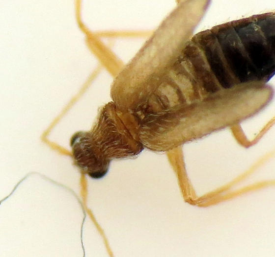 Tiny Mystery Beetle - Thylodrias contractus