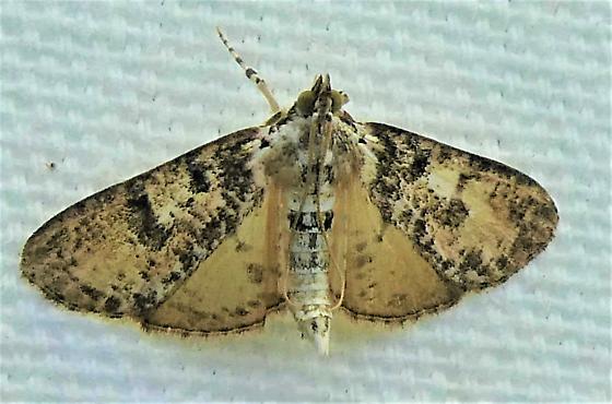 5226   Splendid Palpita   (Palpita magniferalis) - Palpita magniferalis