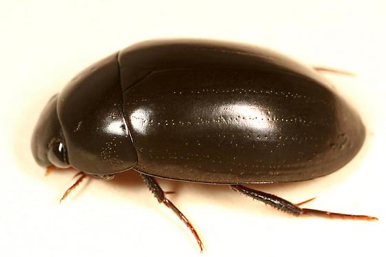 Hydrophilidae ? - Hydrochara obtusata
