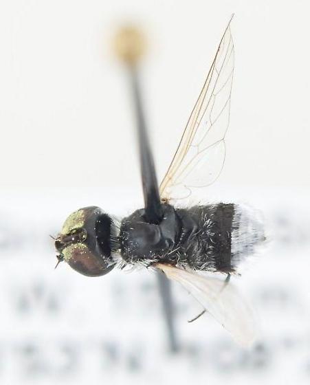 Astrophanes adonis - Astrophanes - male