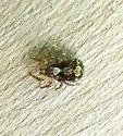 What bug please? - Naphrys pulex