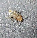 Barklouse nymph - Valenzuela pinicola
