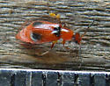 red with black spots, Melyridae? - Attalus