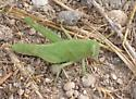 Spur-throated grasshopper? - Schistocerca