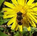 Flower Fly - Eristalis arbustorum - female