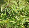 Sawfly foodplant