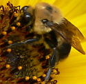 Brown-belted Bumble Bee - Bombus griseocollis - male