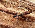 Seed Bug - Myodocha serripes