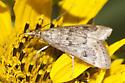 Moth  - Achyra rantalis