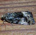 Noctuid July 25 - Lithacodia musta