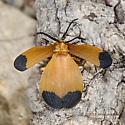 Lycus fernandezi  - Lycus arizonensis - male - female